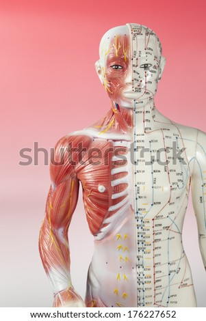 Body Image of Acupuncture Anotomy Model - stock photo
