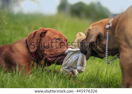 Boerboel a Dogue de Bordeaux puppy - Playing on grass