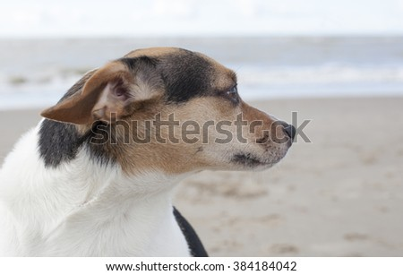 Boerenfox, mix fox terrier and parson terrier, Close-up - stock photo