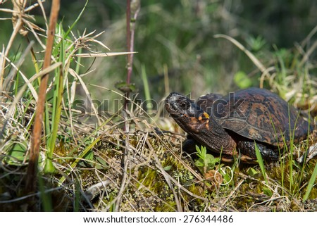 Bog Turtle - stock photo