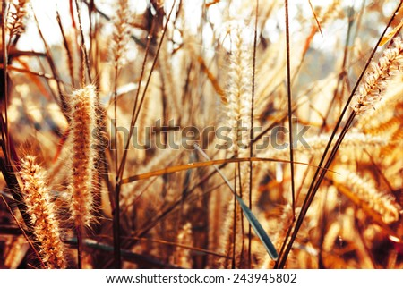 Bokeh Blur and soft focus of prairie grass flower in morning light