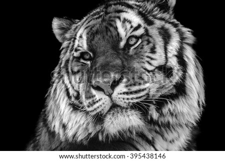 Bold contrast black and white tiger face close-up - stock photo