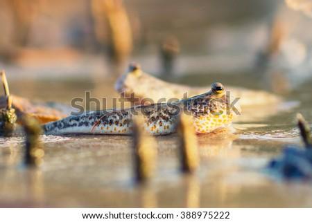 Boleophthalmus boddarti - stock photo