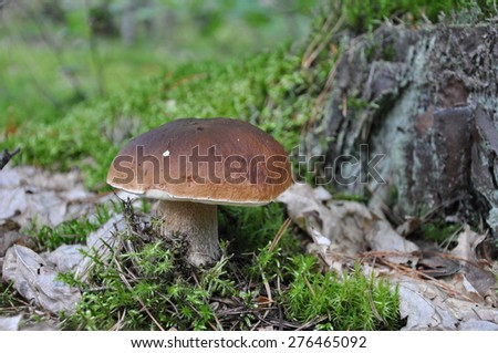 Boletus - stock photo