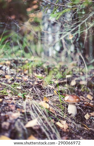Boletus edulis mushroom closeup in the forest, Amata, Latvia. - stock photo