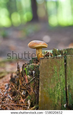 Boletus mushroom in the forest