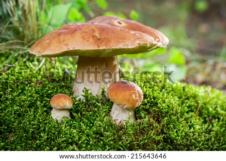 Boletus mushroom on moss in the forest at sunset - stock photo