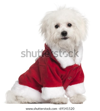 Bolognese puppy in Santa outfit, 6 months old, sitting in front of white background - stock photo