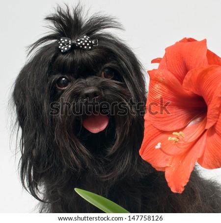 Bolonka ZWETNA and hippeastrum flower - stock photo