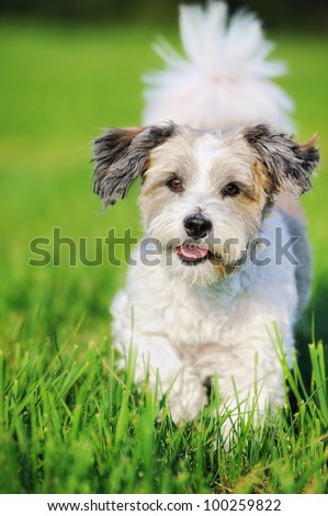 Bolonka Zwetna girl Bichon Frise - stock photo