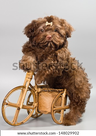 Bolonka ZWETNA with tricycle - stock photo