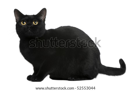 Bombay cat, 8 months old, sitting in front of white background - stock photo