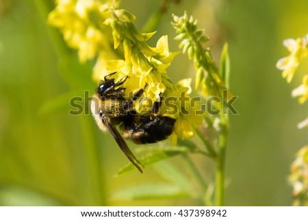 Bombus impatiens, Common Eastern Bumble Bee, collecting pollen - stock photo