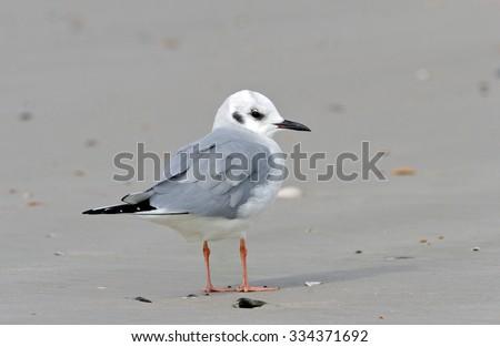 Bonaparte's Gull   - stock photo