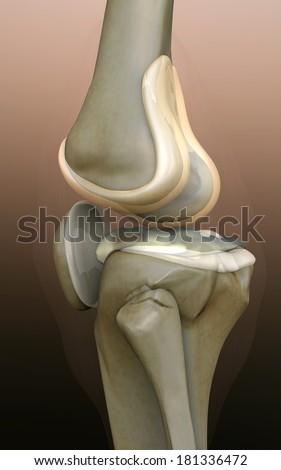 bone, human knee, human knee, knee, 3d rendered knee illustration, pain illustration knee side, 3d illustration knee side, Knee x-ray   - stock photo