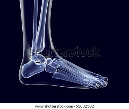 Side View of Foot Bones Bones of The Foot Side View