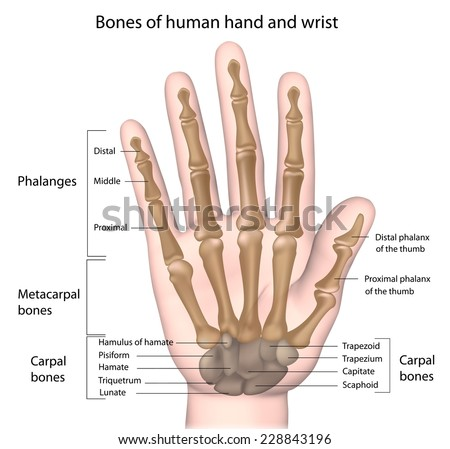 Bones of the hand labeled. - stock photo