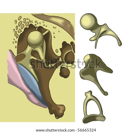 Bones of the human ear - stock photo