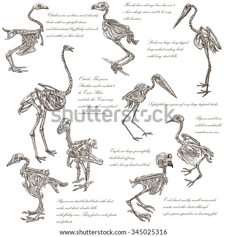 Bones, Skulls of different Birds - Collection of an hand drawn illustrations. Full sized hand drawn illustrations, Originals, freehand sketching, drawing on white background. - stock photo