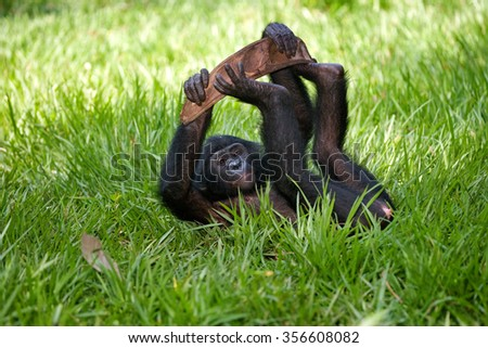 Bonobo lying on the grass. Democratic Republic of Congo. Lola Ya BONOBO National Park. An excellent illustration.