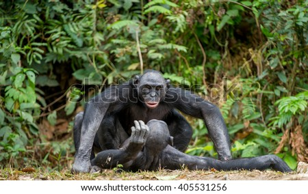 Bonobo mating. The bonobo ( Pan paniscus), formerly called the pygmy chimpanzee and less often, the dwarf or gracile chimpanzee. - stock photo