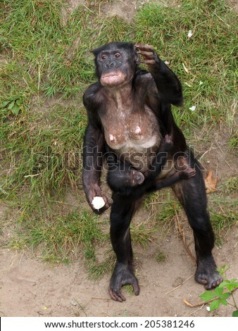 Bonobo mother with child standing on her legs - stock photo