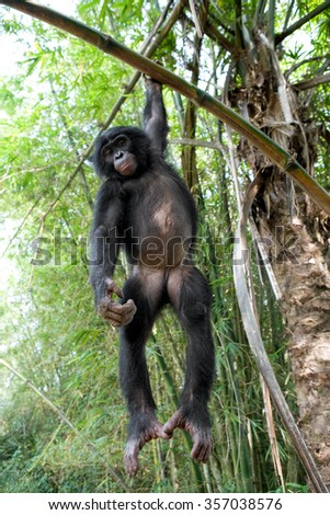 Bonobo on a tree. Democratic Republic of Congo. Lola Ya BONOBO National Park. An excellent illustration.