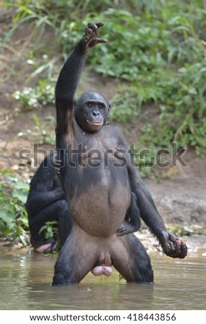 Bonobo ( Pan paniscus) standing on her legs in water with a cub on a back standing  and hand up. Democratic Republic of Congo. Africa  - stock photo