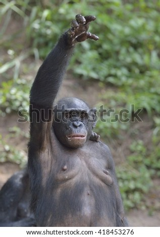 Bonobo standing on her legs with a cub on a back standing  and hand up. The Bonobo ( Pan paniscus). Democratic Republic of Congo. Africa  - stock photo