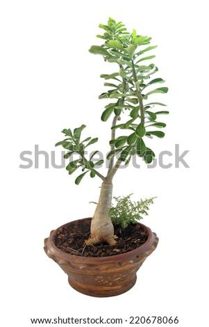 bonsai banyan tree isolated on white background - stock photo
