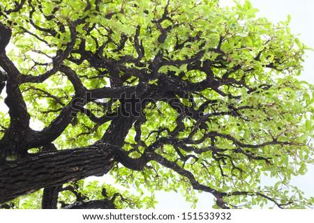 bonsai banyan tree with white background - stock photo