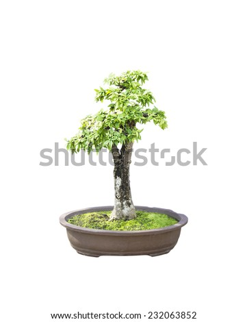 bonsai banyan tree with white background,general decoration in the traditional garden