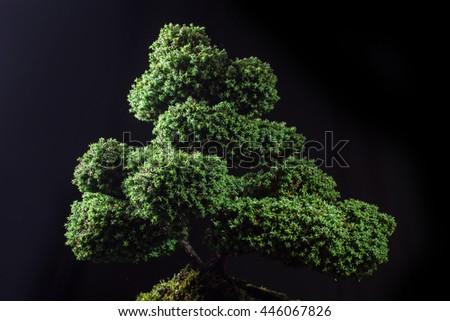 bonsai Chamaecyparis pisifera'Squarrosa dumosa' on a black background - stock photo