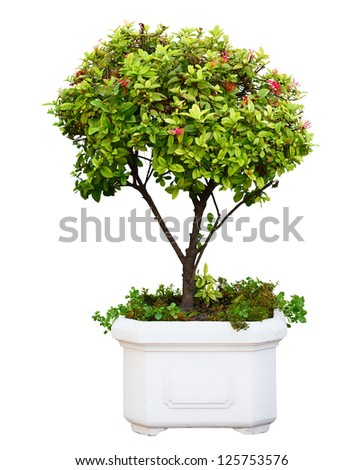 Bonsai dwarf green tree in pot isolated on white background