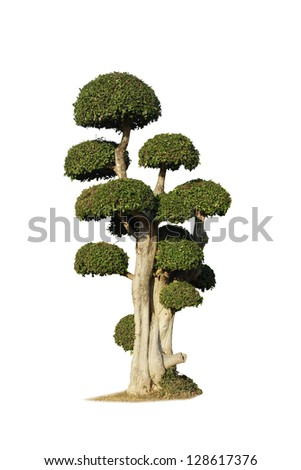 bonsai isolated - stock photo