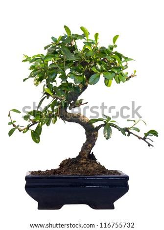 bonsai. japanese tree on white background.  isolated - stock photo