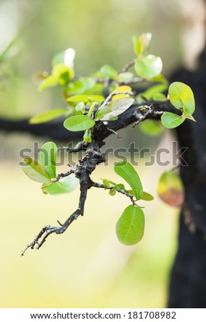 bonsai leaf close up - stock photo
