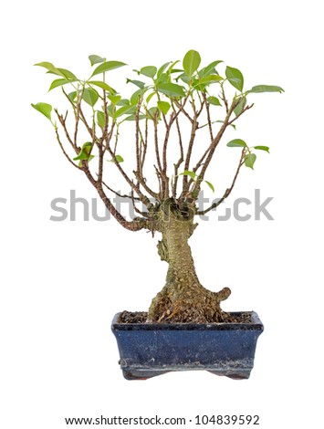 bonsai on flowerpot isolated on white background