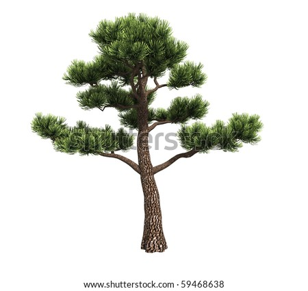 Bonsai pine isolated on white background - stock photo