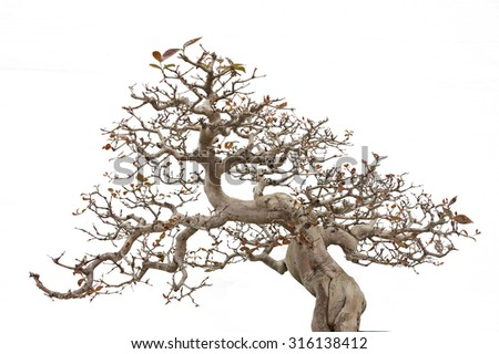 Bonsai pine tree - stock photo