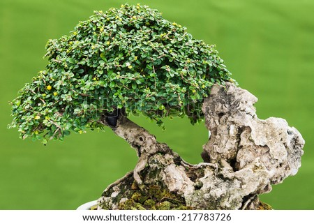 Bonsai pine tree against a white wall - stock photo
