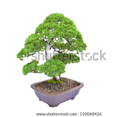 Bonsai pine tree against on white background. - stock photo
