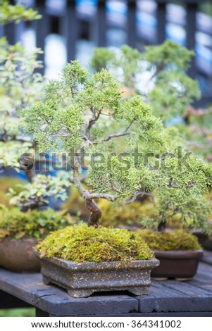 bonsai plant in a flowerpot for garden decoration, natural