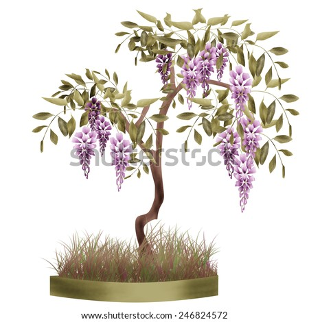 Bonsai potted tree with flowers of wisteria glicinia background isolated  - stock photo