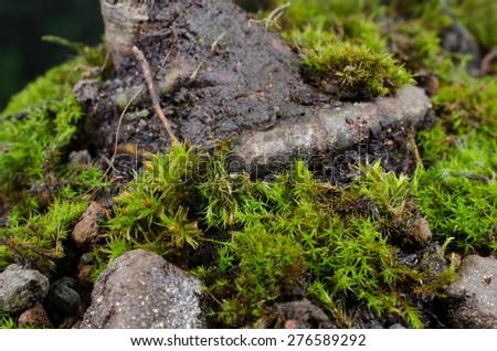 bonsai stem with moss applied - stock photo