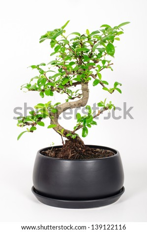 Bonsai Tree / A bonsai tree with dark grey pot - stock photo