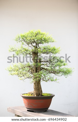 Bonsai tree against white wall in a chinese park