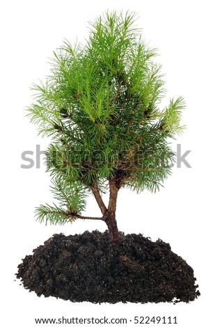 Bonsai Tree and soil on a white background - stock photo