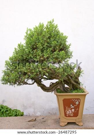Bonsai tree at the chinese garden - stock photo