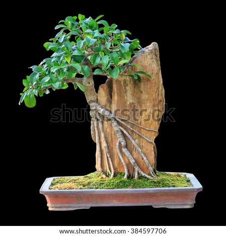 Bonsai tree in a brown ceramic pot isolated on black background. - stock photo